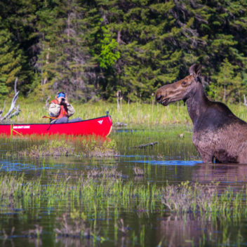 Canoeing Past Moose in Algonquin Park