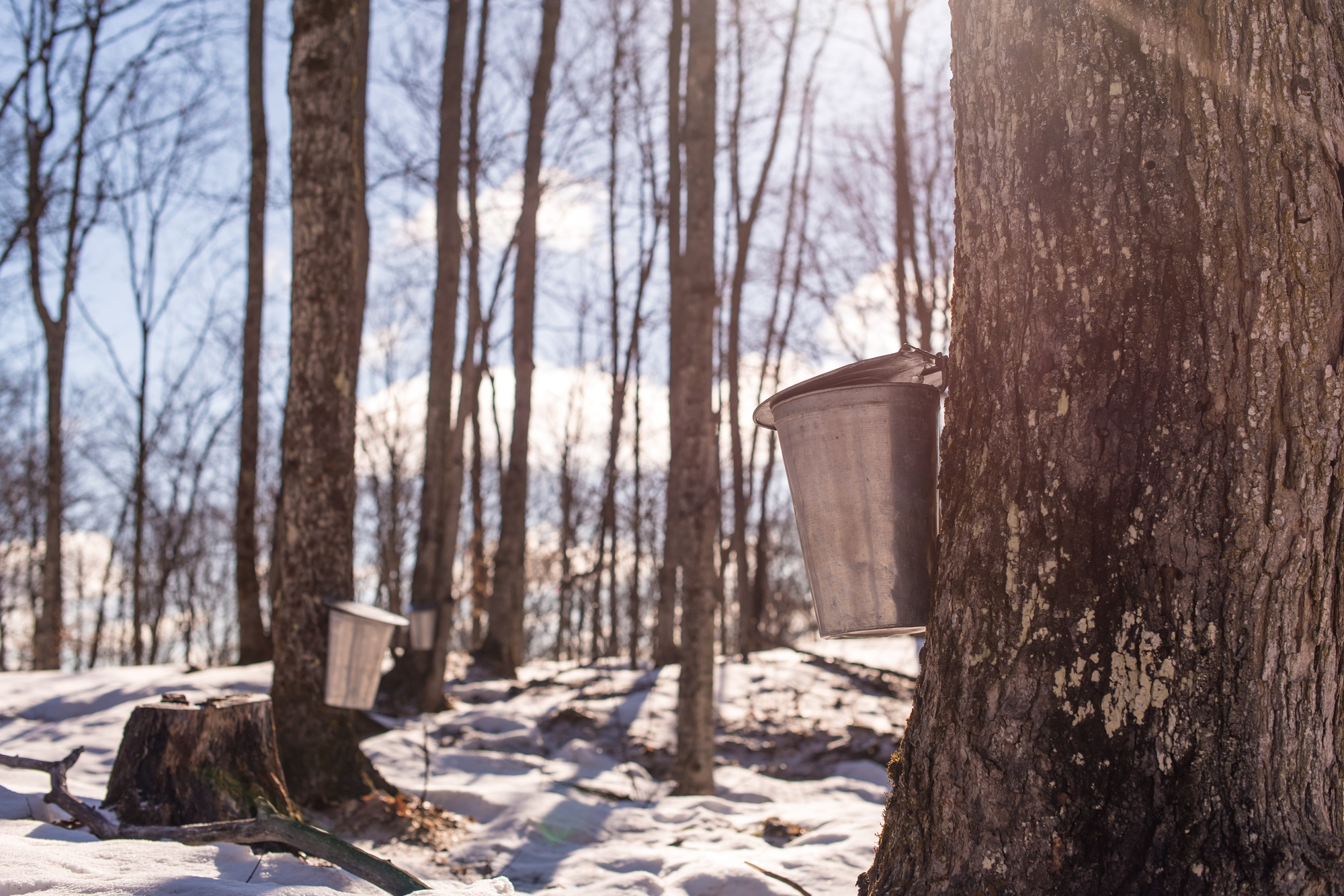 Sap Buckets in the Forest